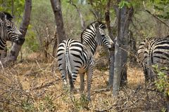 Equus quagga, plains zebra,in Hwange National Park, Zimbabwe Stock Images
