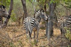Equus quagga, plains zebra,in Hwange National Park, Zimbabwe Stock Images