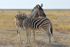 Equusquagga för gemensam sebra i den Etosha nationalparken Namibia arkivbilder