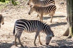 Equusquagga, gemeenschappelijke zebra Stock Foto's