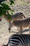 Equusquagga, gemeenschappelijke zebra Stock Fotografie