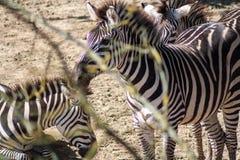 Equusquagga, gemeenschappelijke zebra - hoofdschot Royalty-vrije Stock Foto's