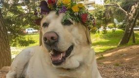 1er du jour de travail de mai avec un chien de Labrador portant un chapelet clips vidéos