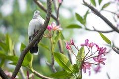 Er is een witte duifzitting op Lal Kath Golap Stock Afbeeldingen