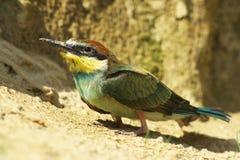 Er ist einer von Europas geschütztem Vogel. Lizenzfreies Stockbild