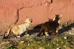 Er is kat twee Royalty-vrije Stock Foto