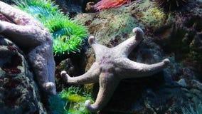 Er zijn ongeveer 1.600 species van zeester op de zeebedding in alle wereld` s oceanen stock footage