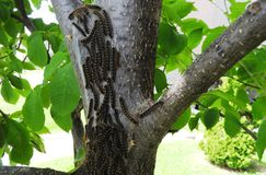 Er zijn vele rupsbanden op de boom Royalty-vrije Stock Afbeelding