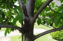 Er zijn vele rupsbanden op de boom Royalty-vrije Stock Foto's