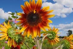 Erachter Verlaten zonnebloemen Royalty-vrije Stock Foto