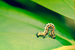 Erannis defoliaria毛虫爬行 免版税库存图片