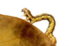 erannis defoliaria гусеницы Стоковые Изображения RF