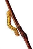 erannis defoliaria гусеницы Стоковое Изображение RF