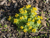 Eranthis blossoming in spring Royalty Free Stock Photo