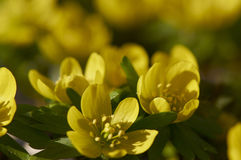 Eranthis Flowers. Flowering winter aconite, Eranthis hyemalis, among the earliest blooming garden flowers in the Spring Royalty Free Stock Images