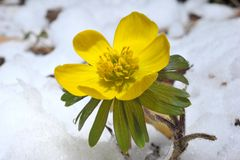 Eranthis hiemalis Royalty Free Stock Photography