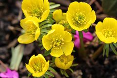 Eranthis hyemalis flowers Stock Images