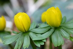 Eranthis hyemalis Stock Photography