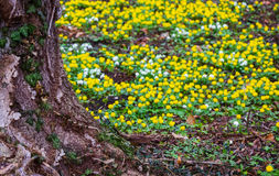 Eranthis hyemalis and snowdrops in the park Stock Photo