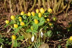 Eranthis. And snow drops warming in the sunlight of early spring Royalty Free Stock Images