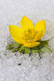 Eranthis in the snow Royalty Free Stock Photography