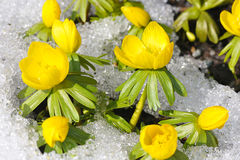 Eranthis in the snow Stock Photos