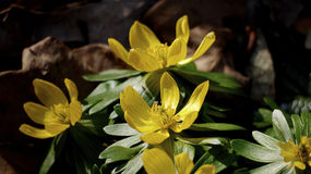 Eranthis, winter aconite. Royalty Free Stock Image