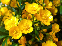Free Erantis Spring Family Of Buttercups Royalty Free Stock Images - 92398209