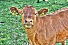 Erarings divertenti della mucca Fotografia Stock