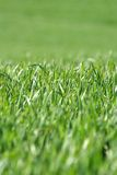 Erba 2. A lawn of green grass Stock Image
