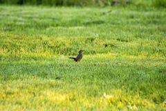 Erba alta con l'uccello grigio Immagini Stock Libere da Diritti