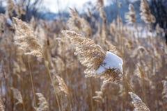 Erba alta coperta in neve che soffia nel vento sulla prateria Fotografie Stock