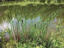 Erba alta da acqua Fotografie Stock