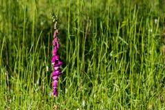 Erba alta del campo in pieno dei semi e dei fiori Fotografie Stock