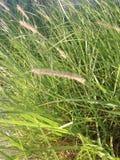 Erba alta dell'erba di fontana Fotografie Stock Libere da Diritti