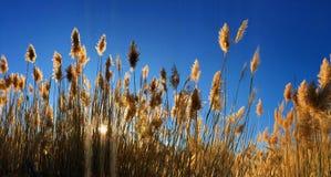Erba alta di Cortaderia di pampa in un campo sui precedenti del tramonto e del cielo blu Foto soleggiata luminosa di estate Orecc Immagine Stock