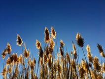 Erba alta di Cortaderia di pampa in un campo sui precedenti del tramonto e del cielo blu Foto soleggiata luminosa di estate Orecc Immagine Stock Libera da Diritti