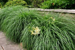 Erba alta in giardino abbellito, con i gigli di tigre pieghettati interamente Fotografia Stock