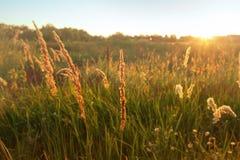 Erba alta nel campo, tramonto, sfondo naturale Immagini Stock Libere da Diritti