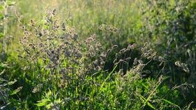 Erba alta selvatica che ondeggia in vento stock footage