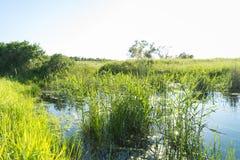 Erba alta sulla riva del lago con il sole Fotografia Stock