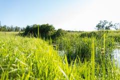 Erba alta sulla riva del lago con il sole Fotografie Stock Libere da Diritti
