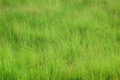 Erba alta verde fresca sul prato alpino Fondo di estate Fotografia Stock Libera da Diritti