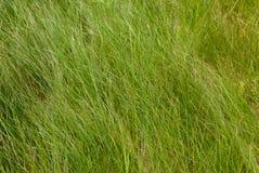 Erba alta verde Struttura dello sfondo naturale Erba verde della sorgente fresca Immagini Stock