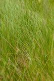 Erba alta verde Struttura dello sfondo naturale Erba verde della sorgente fresca Fotografia Stock Libera da Diritti
