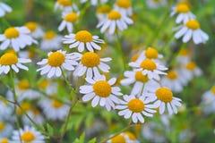 Erba amara vera della pianta medicinale con molti fiori in un letto Immagini Stock Libere da Diritti
