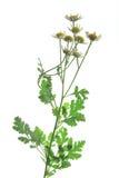 Erba amara vera (tanacetum parthenium) fotografia stock libera da diritti