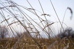 Erba asciutta alta nel campo di sera di autunno Immagini Stock Libere da Diritti