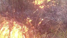 Erba asciutta bruciante e cespugli, fuoco nella steppa, prateria, savanna archivi video
