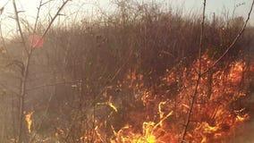 Erba asciutta bruciante e cespugli, fuoco nella steppa, prateria, savanna video d archivio